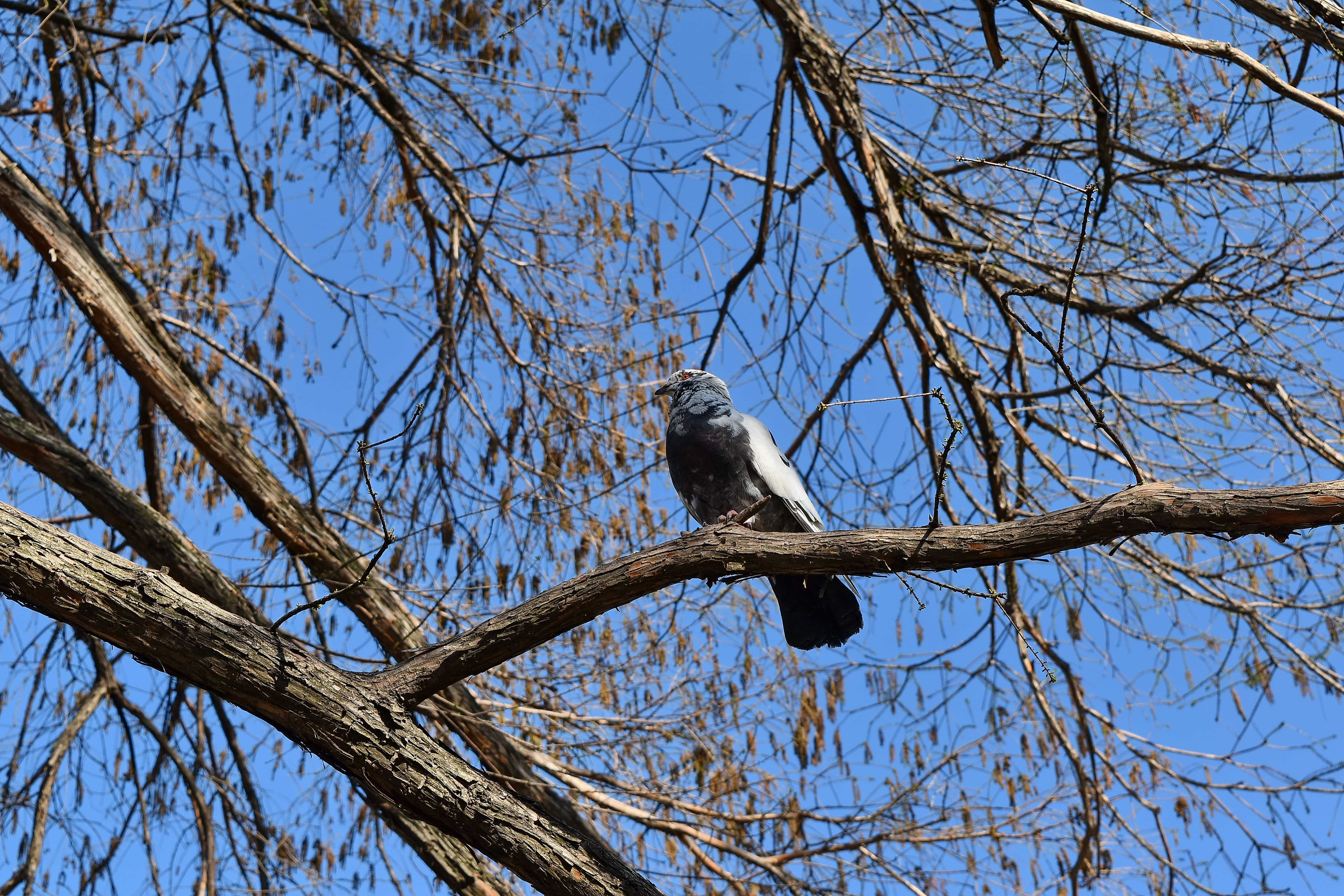 Free picture: branches, pigeon, nature, bird, tree, branch ...