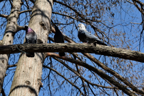 birds, flock, pigeon, tree, dove, bird, nature, wood