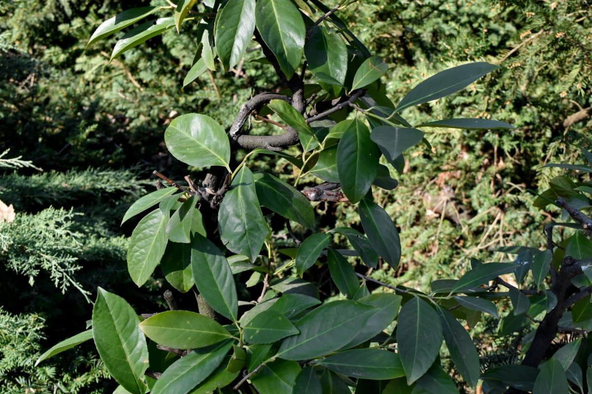 grene, rødgran, blade, blad, natur, plante, flora, træ