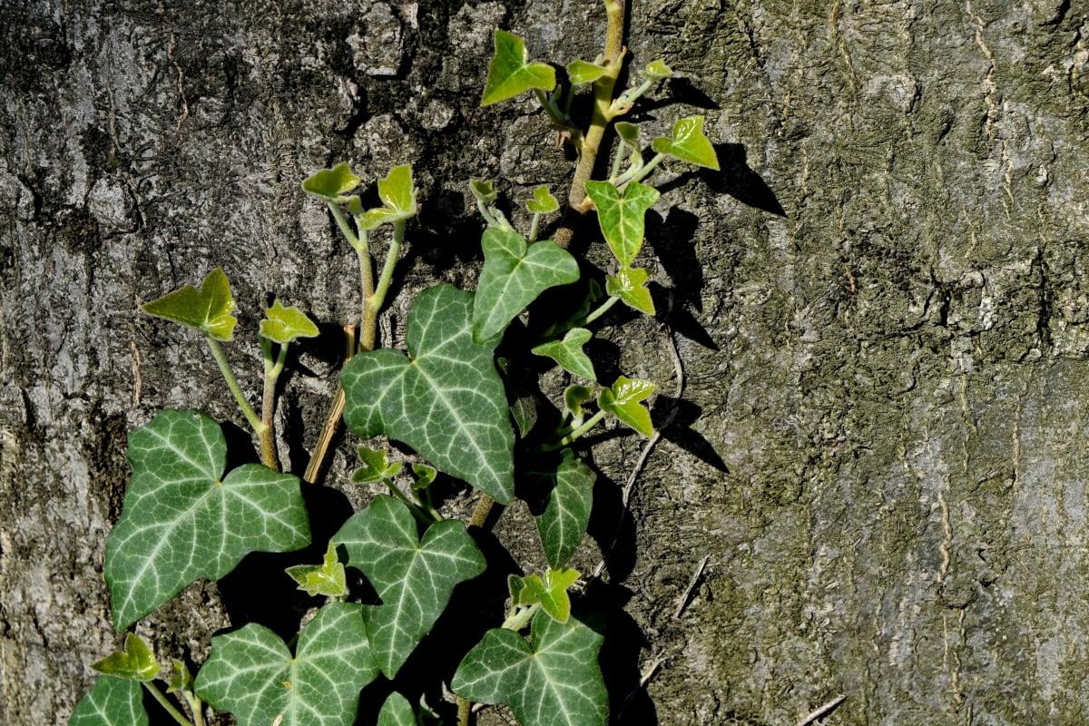гора, дърво, листа, растителна, листа, бръшлян, флора, природата