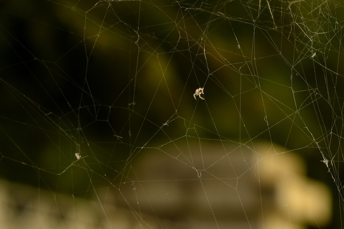 insect, nature, spiderweb, cobweb, spider, arachnid, web, trap