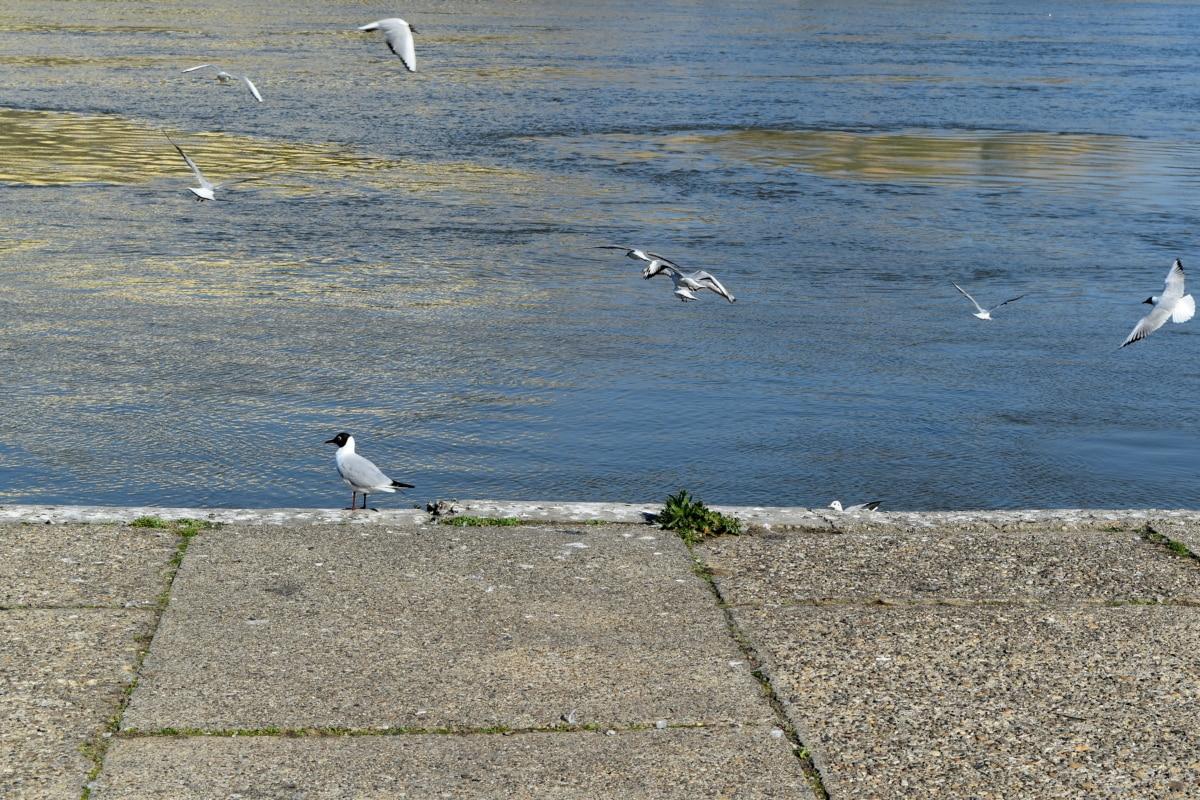 ροδόχρωμο πτηνό, ερωδιός, πουλί, στη θάλασσα, φύση, νερό, Οι Γλάροι, άγρια φύση