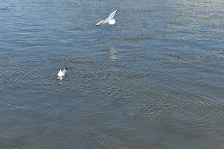 sea, seabird, water, ocean, bird, lake, seagulls, nature