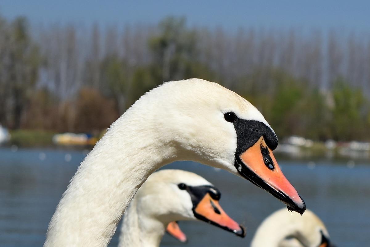 næb, øje, hoved, svane, akvatisk fugl, gås, søen, fugl