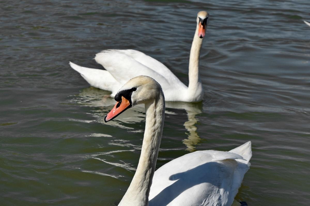 клюн, птица, лебед, вода, езеро, водните птици, гъска, водолюбивите птици