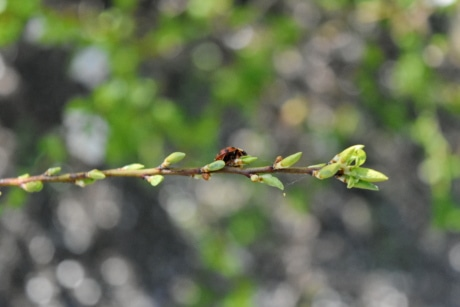 insect, ladybug, leaf, tree, branch, nature, outdoors, flora