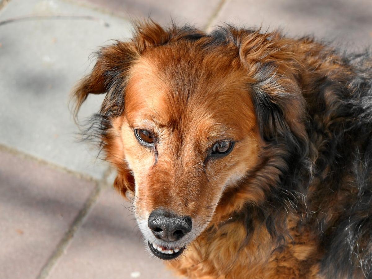yndig, dyr, dyr, brun, canine, kødædende, Nuttet, hund