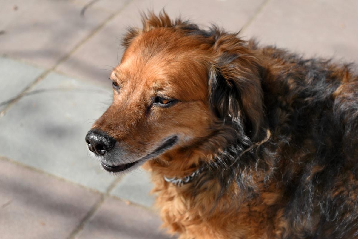 rodokmeň, čistokrvné, rozkošný, zviera, zvieratá, plemeno, hnedá, psie