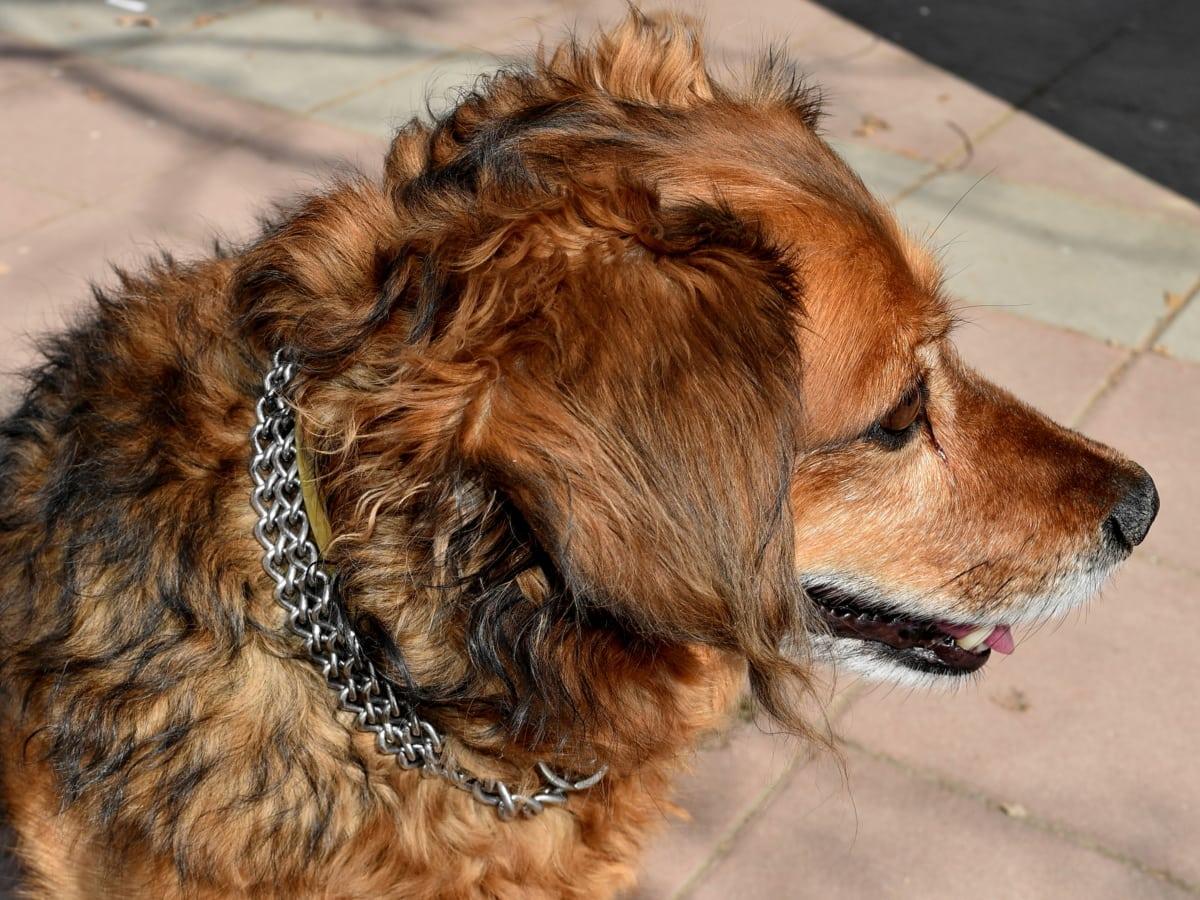 σκύλος, κολιέ, αξιολάτρευτο, ζώο, ζώα, φυλή, καφέ, λαγούμι