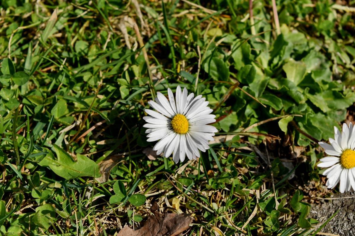 bylina, závod, květ, Příroda, květ, jaro, sedmikráska, Flora