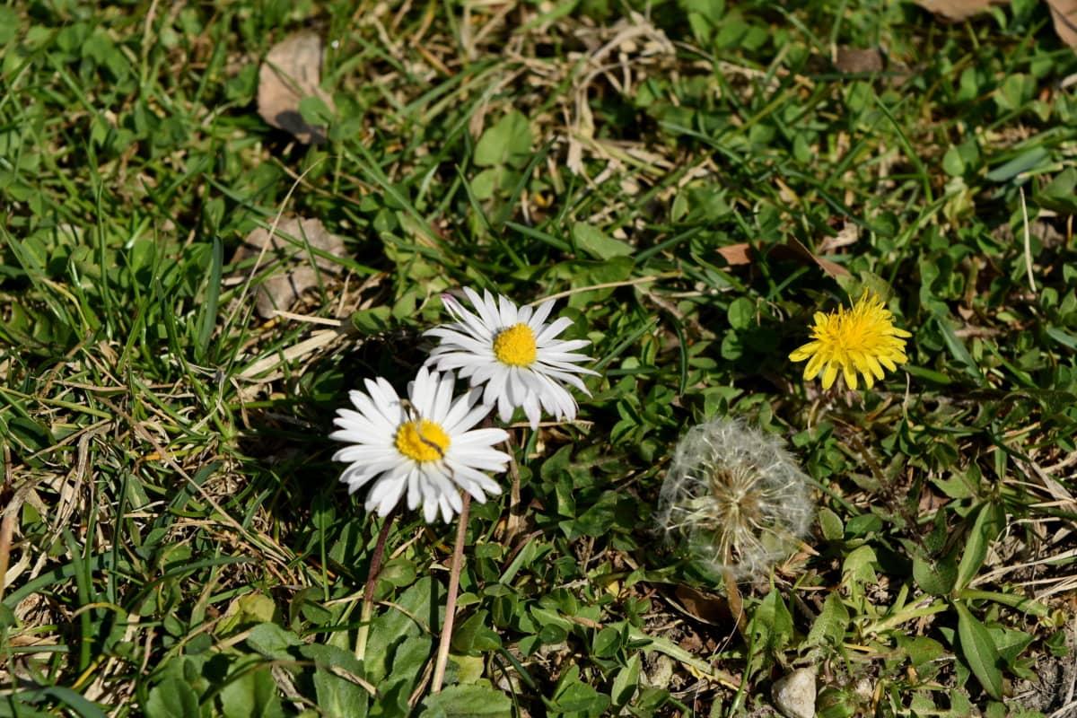 stokrotki, mniszek lekarski, Zielona trawa, zielonych liści, wiosna, pole, trawa, Natura
