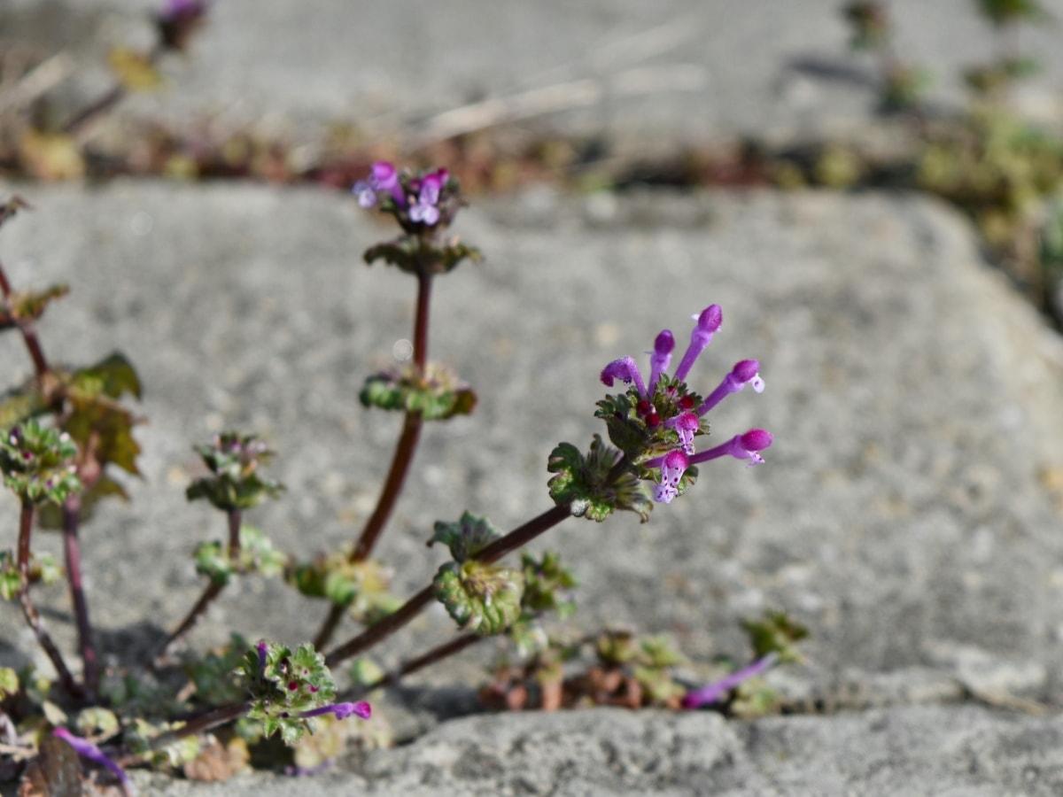 cvatnje, flore, biljka, biljka, priroda, cvijet, list, lila cvijet