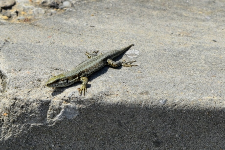 camouflage, colorful, sand, beach, reptile, wildlife, lizard, nature