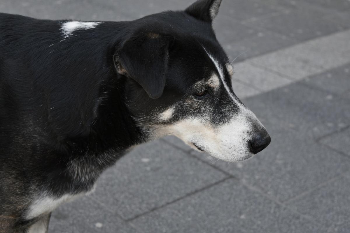 hvalp, kæledyr, canine, hund, Nuttet, dyr, Portræt, søger
