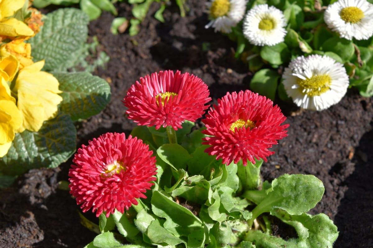 rosa, natur, anlegget, flora, blomst, hage, blad, blomstrende