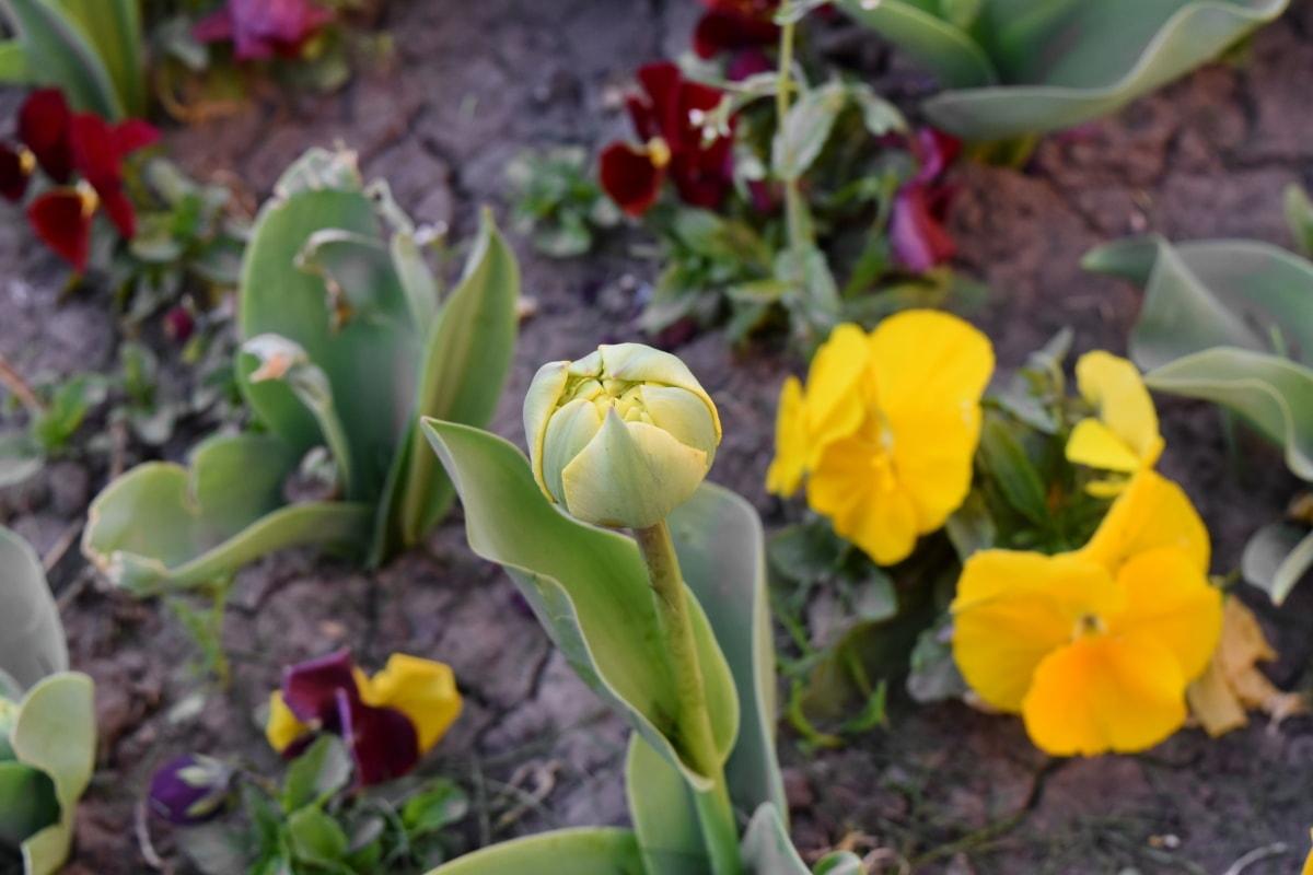 bloemknop, plant, tulpen, blad, tulp, flora, tuin, natuur