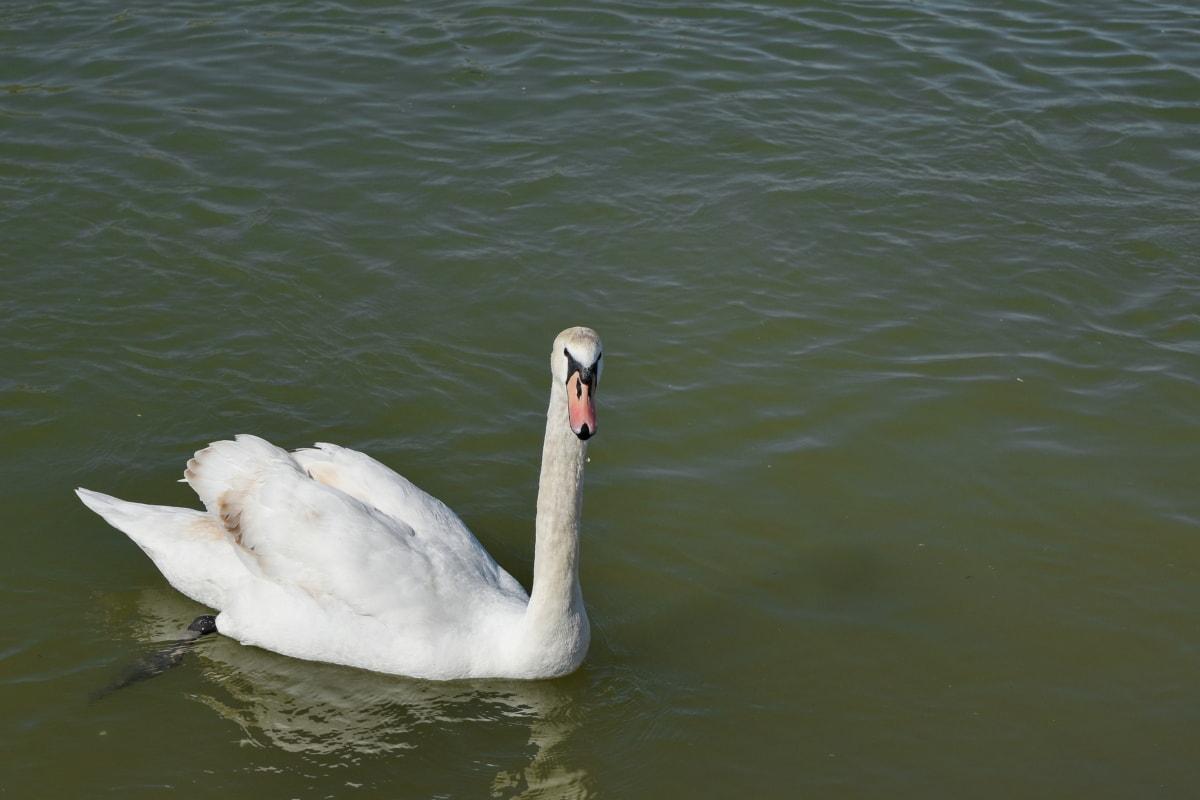 lake, swan, wildlife, pond, aquatic bird, water, beak, nature