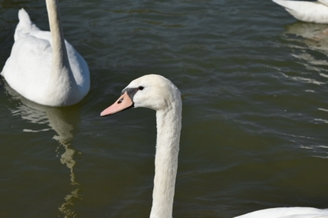head, neck, swan, white, water, wildlife, aquatic bird, bird