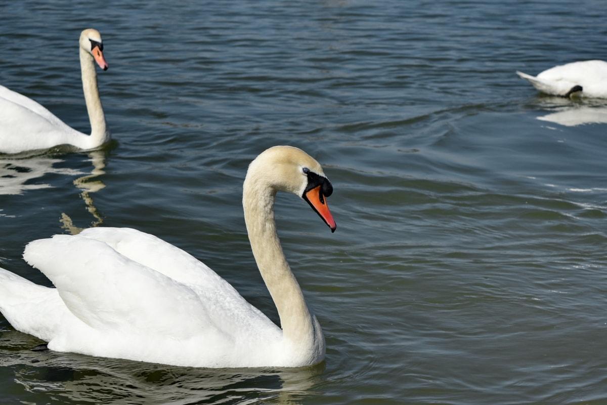 vatten, sjöfåglar, svan, näbb, sjön, vattenlevande fågel, fågel, simning