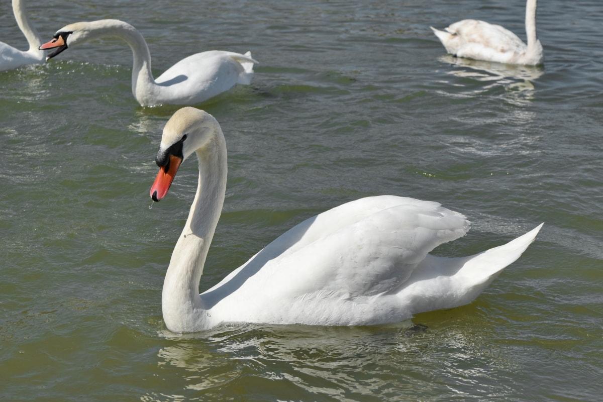 หงส์, น้ำ, นก, ทะเลสาบ, ปีก, นกน้ำ, ว่ายน้ำ, ธรรมชาติ