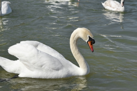swan, animal, animals, aquatic bird, avian, beak, bird, birds