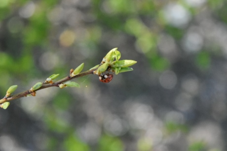 ladybug, leaf, nature, outdoors, summer, flora, blur, tree
