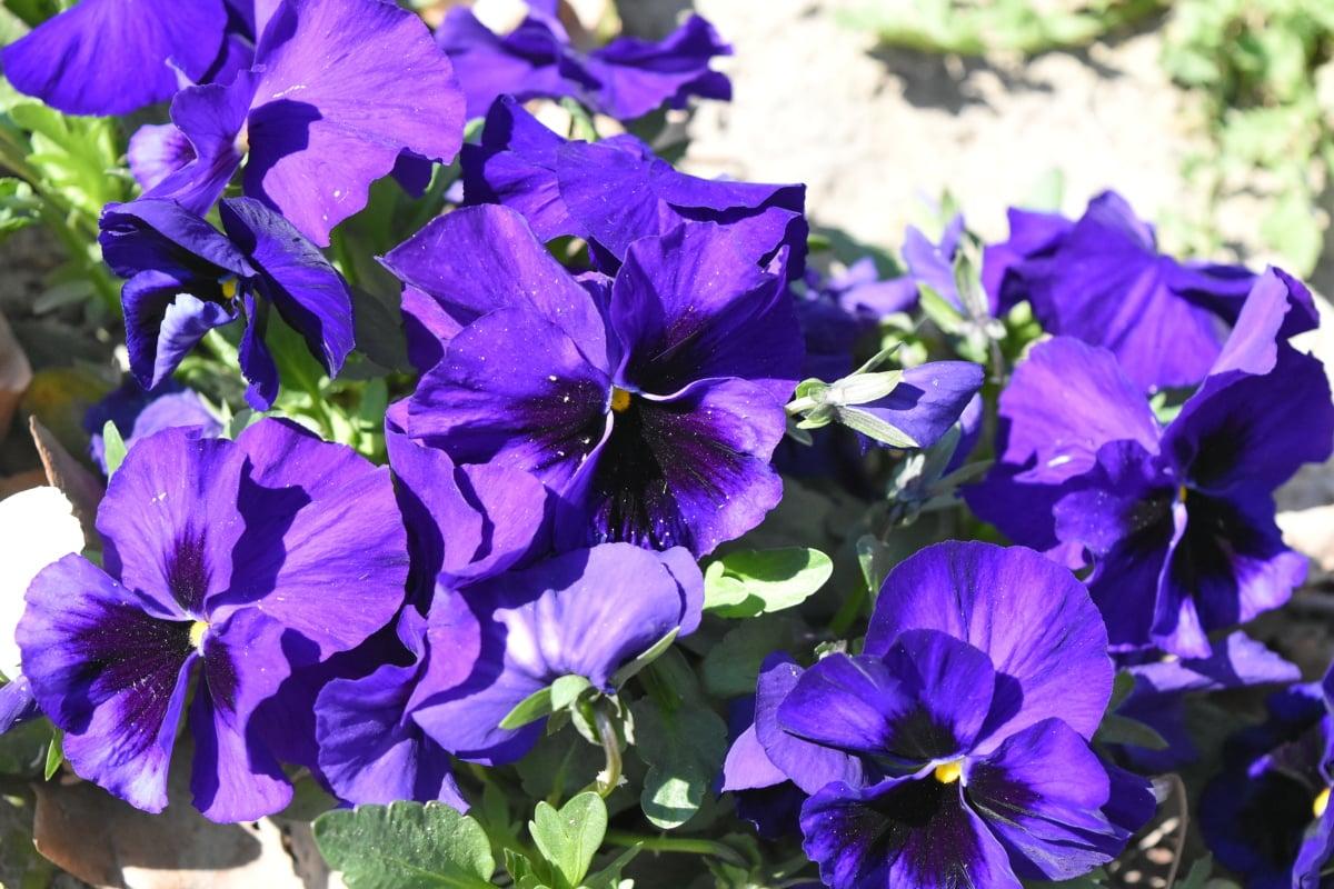 plante, haven, plante, Petunia, natur, blad, blomst, flora