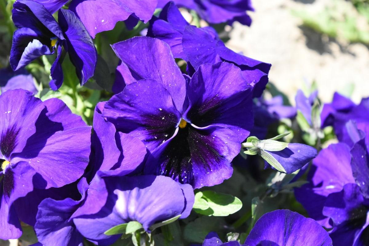 beautiful flowers, flower garden, petunia, purple, nature, leaf, flowers, garden