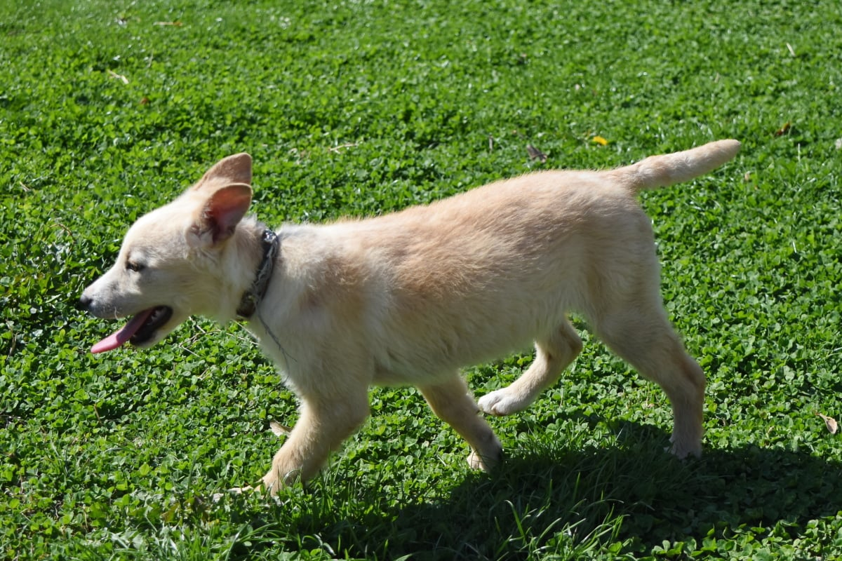 lawn, grass, animal, canine, dog, cute, puppy, young
