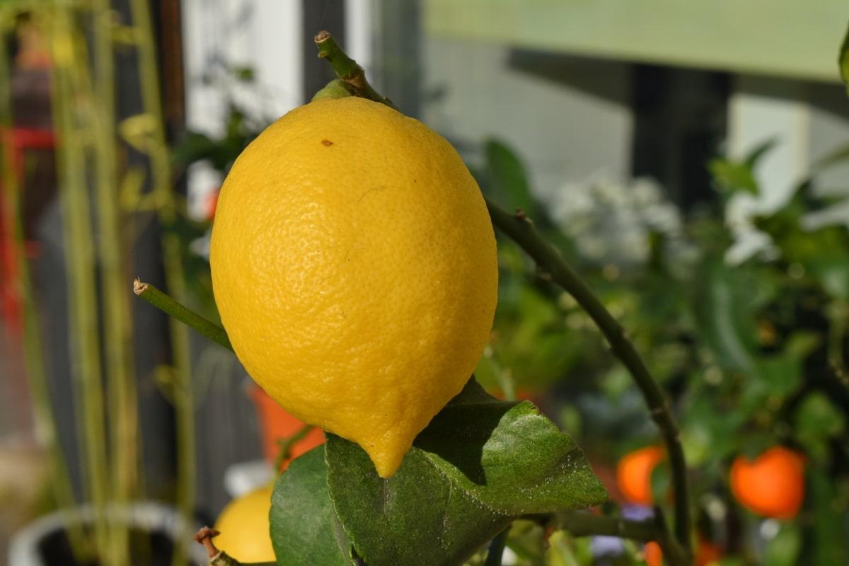 熟した果実, 熱帯, フルーツ, 健康的です, ダイエット, 食材, 食品, レモン