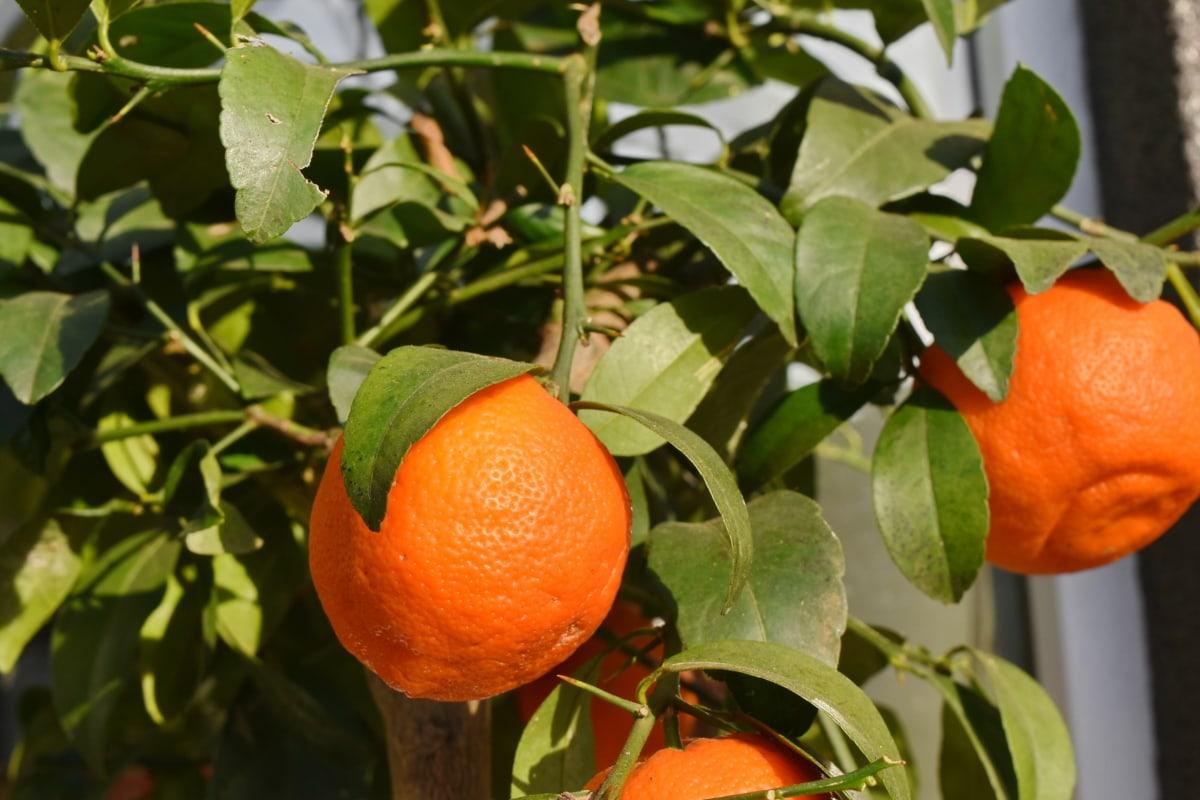 φύλλο, εσπεριδοειδή, φρούτα, βιταμίνη, μανταρίνι, πορτοκαλί, μανταρίνι, τροφίμων