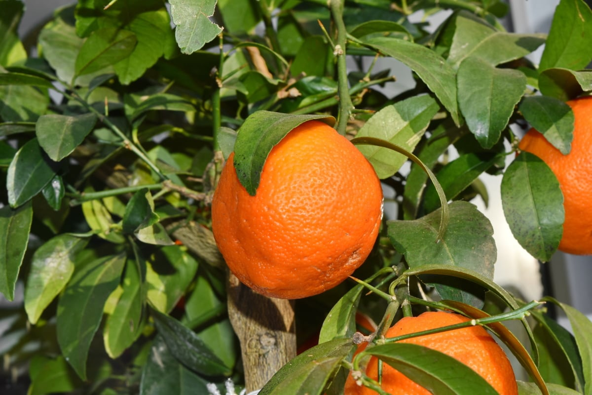 tropical, orange, healthy, tangerine, leaf, citrus, vitamin, mandarin