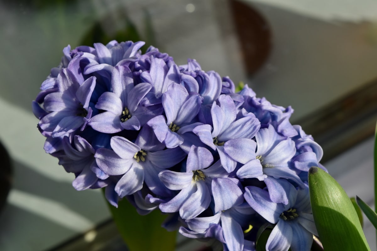 lilac, herb, nature, hyacinth, flora, flowers, flower, plant