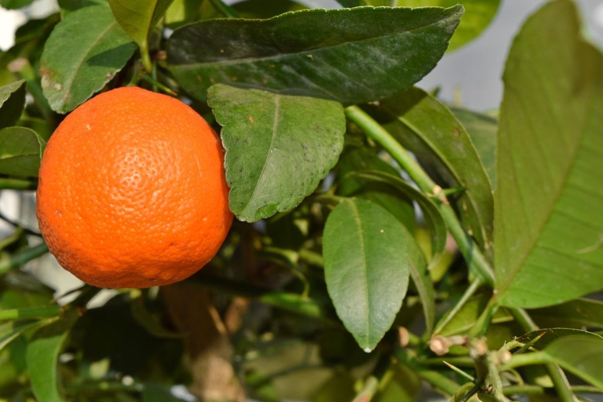 φύλλο, φρούτα, εσπεριδοειδή, μανταρίνι, πορτοκαλί, φύση, βιταμίνη, μανταρίνι