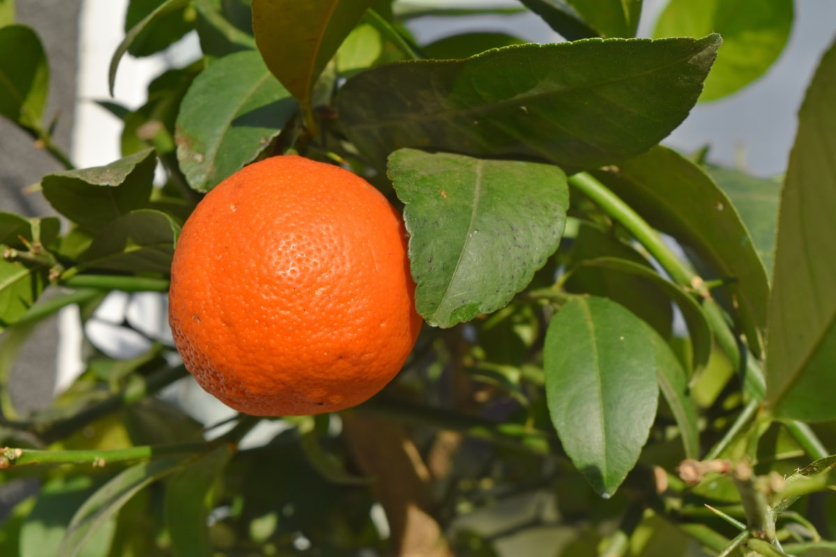 зелени листа, овощна градина, тропик, Ориндж, листа, мандарина, мандарин, цитрусови плодове
