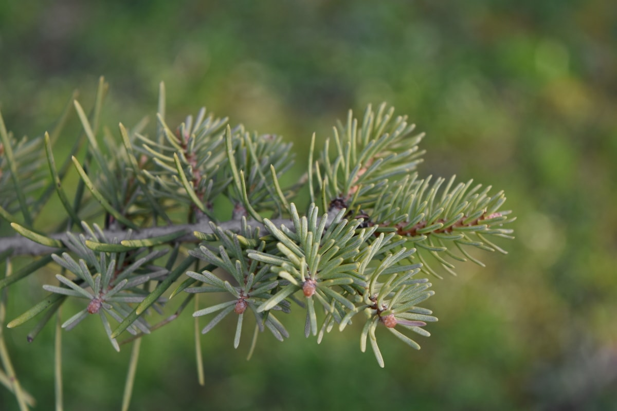 conifer, spruce, pine, plant, nature, branch, tree, flora