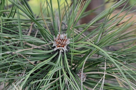 green leaves, tree, pine, plant, nature, flora, outdoors, season