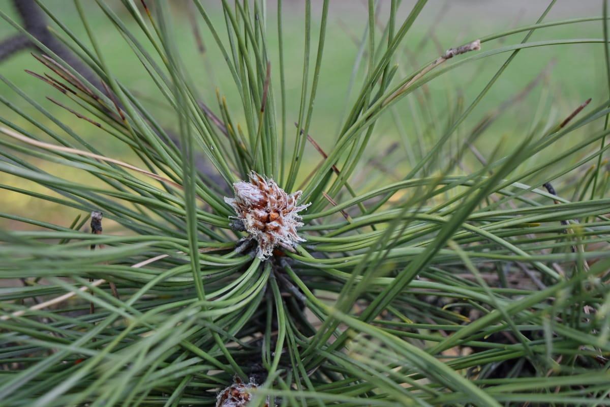 planta, naturaleza, pino, árbol, flora, hoja, de cerca, césped