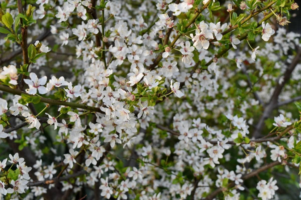 busk, blomst, flora, anlegget, blomstre, treet, natur, vår