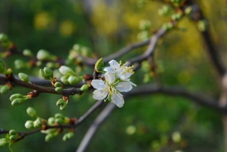 nature, spring, tree, plant, shrub, blossom, apple, flower