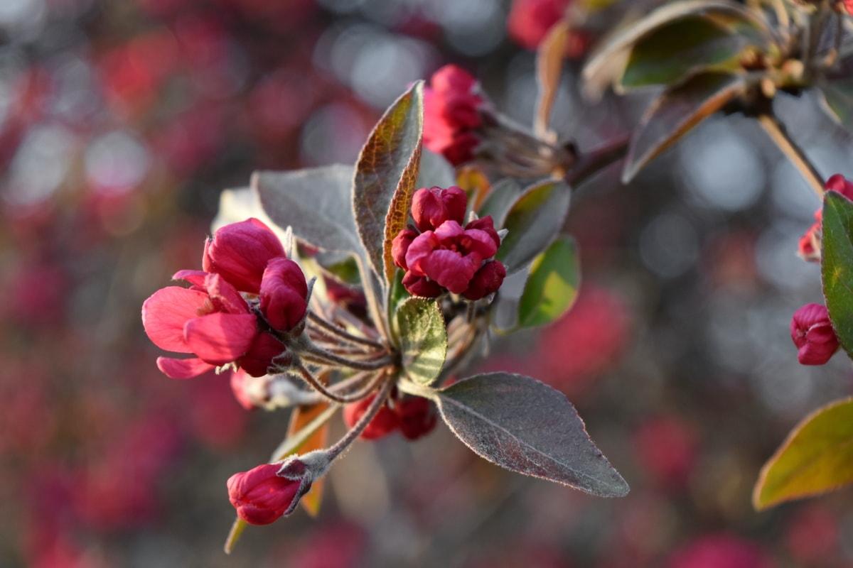 Kwiat pączek, Kwiat ogród, Kwitnienie wiśni, Słupek, kwiat, Natura, krzew, drzewo