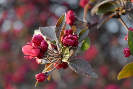 flower bud, flower garden, flowering cherry, pistil, flower, nature, shrub, tree