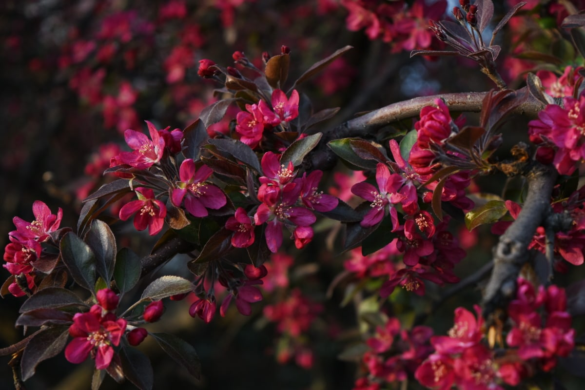 ботаническа, червен, храст, Пролет време, дърво, природата, флора, цвете