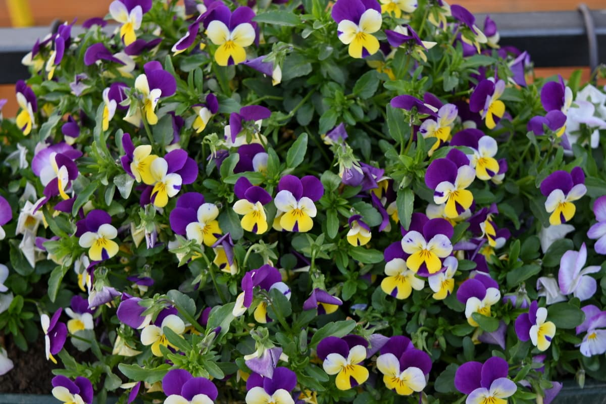 цвете, организъм, растителна, виола, билка, градина, природата, флора