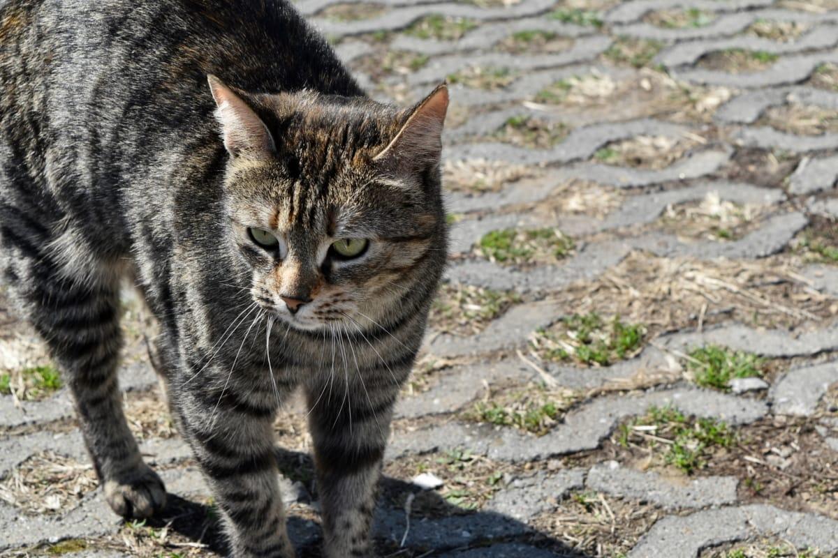 gato rayado, mascota, gato doméstico, bigotes, Piel, Kitty, felino, gatito