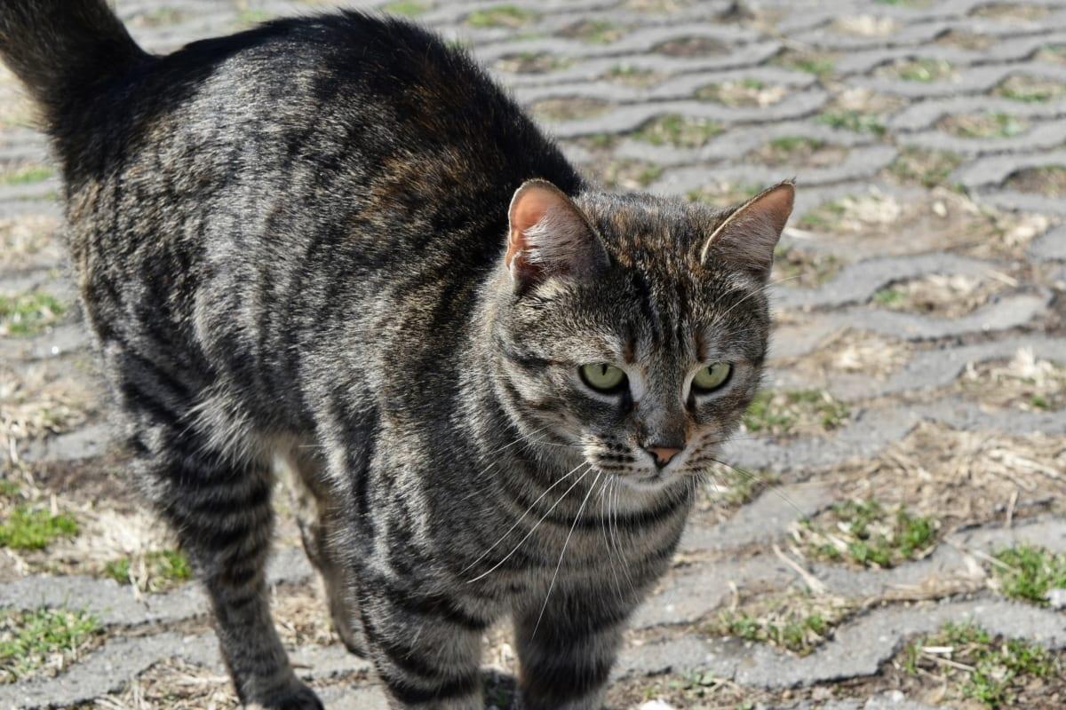 kucing bergaris, kucing domestik, hewan peliharaan, Manis, kucing, Bulu, kucing, hewan