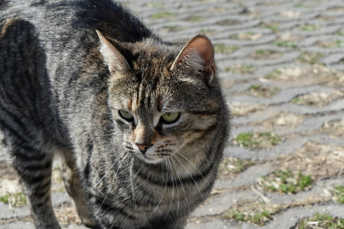 Peles, gatinho, animal, gato doméstico, felino, animal de estimação, gato listrado, gato