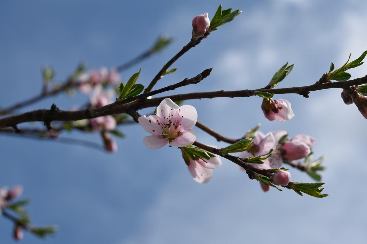 бадем, Пролет, природата, пъпка, дърво, клон, цвете, флора