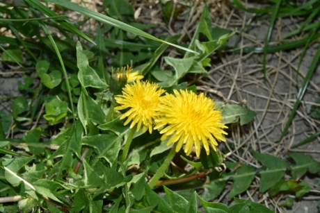 dandelion, flora, herb, yellow, flower, nature, blossom, plant