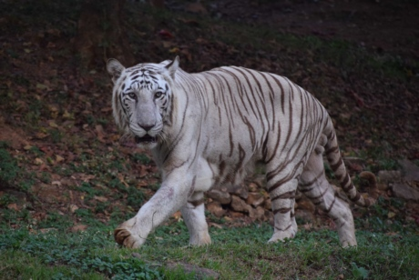 albino, bengal, tiger, wildlife, predator, cat, wild, stripes